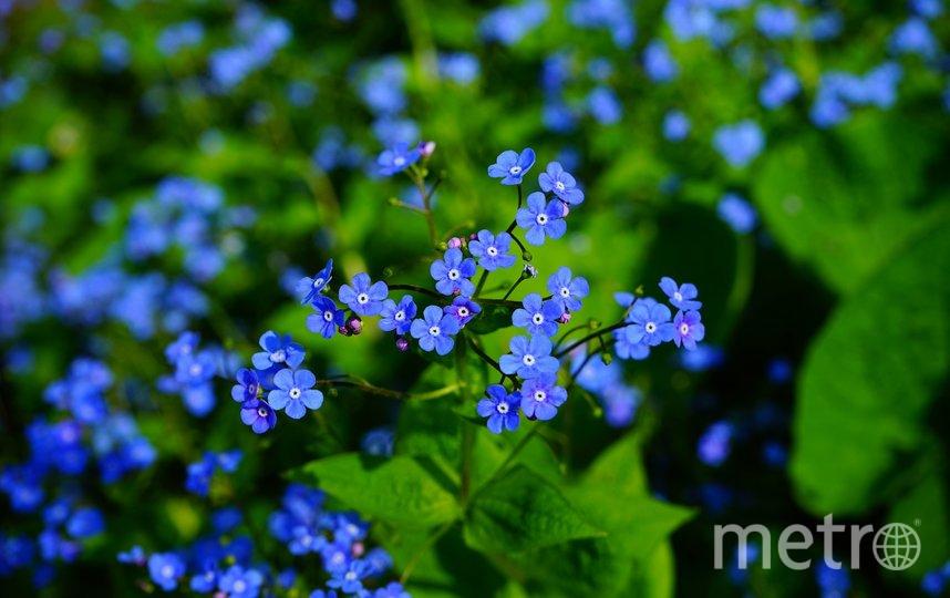 Символом Международного дня пропавших детей является изображение синей незабудки. Фото pixabay.com