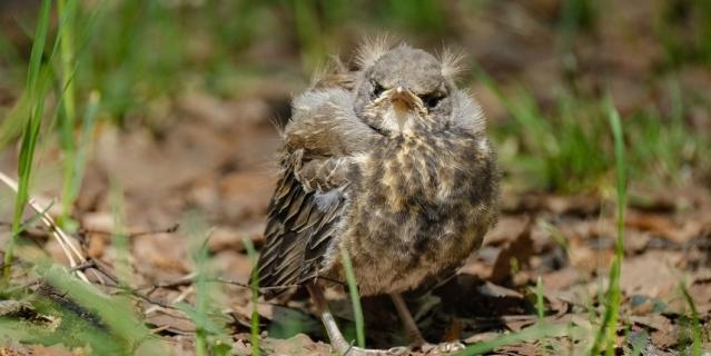 Если птенец уже выпрыгнул из гнезда, сажать его обратно бесполезно.