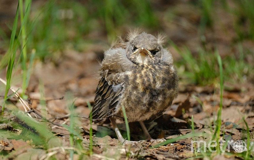 """Если птенец уже выпрыгнул из гнезда, сажать его обратно бесполезно. Фото Алена Бобрович, """"Metro"""""""