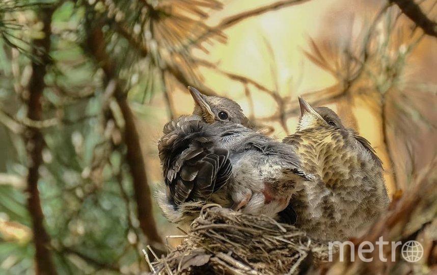 "Птенцы дрозда-рябинника в гнезде. Фото Алена Бобрович, ""Metro"""