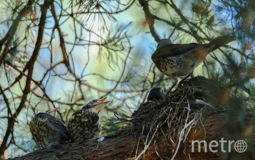 """Гнездо дрозда-рябинника. Подросшие птенцы выходят из гнезда. Фото Алена Бобрович, """"Metro"""""""