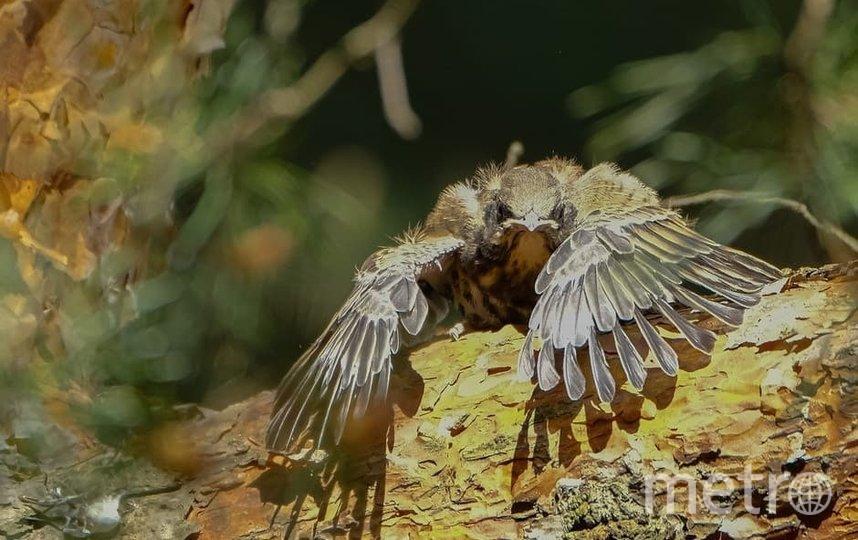"""Птенец готовится к первому полету с ветки сосны на землю. Фото Алена Бобрович, """"Metro"""""""