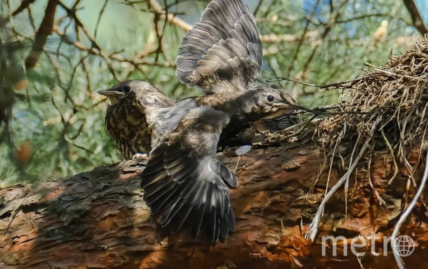 """Птенцы-подростки держатся поблизости от гнезда, из которого они вылетели. Фото Алена Бобрович, """"Metro"""""""