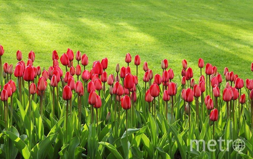 В ЦПКиО имени Кирова пройдет фестиваль тюльпанов. Фото Pixabay