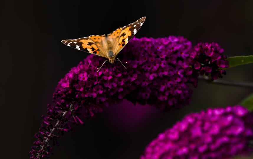 Взрослые бабочки потребляют только жидкости, которые попадают в их организм через хоботок. Фото Getty