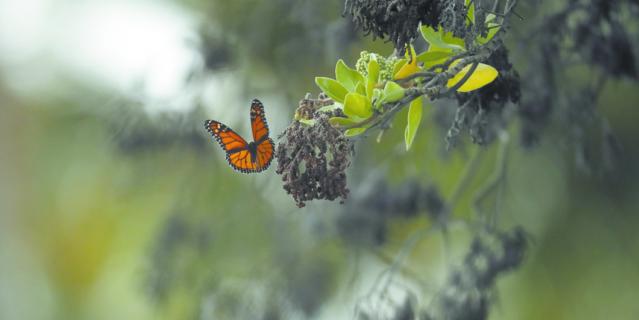 Бабочки используют свои усики-антенны, чтобы чувствовать ветер и запахи.