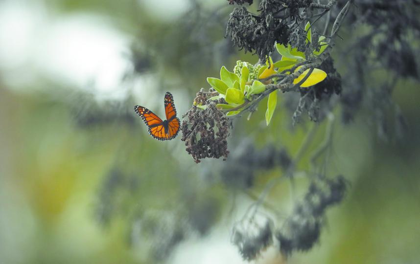 Бабочки используют свои усики-антенны, чтобы чувствовать ветер и запахи. Фото Getty
