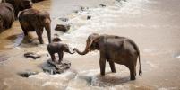 Слоны разрушают Китай: что происходит после побега животных из заповедника - видео