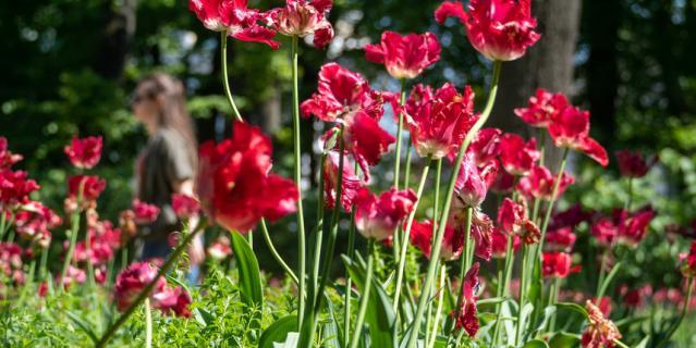 Тюльпаны были в коллекции Петра I.