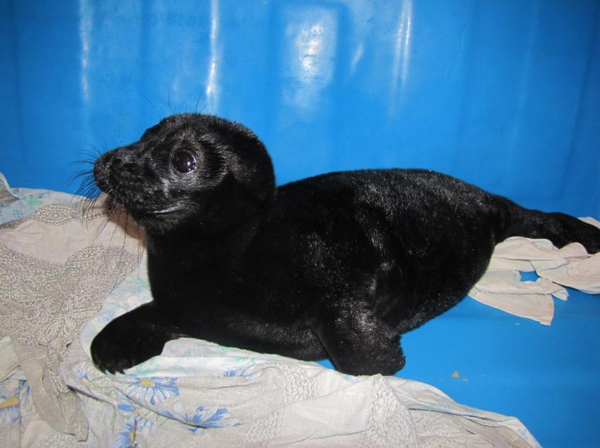 Весной 2021 в прибрежных зонах было найдено 15 детенышей. Фото https://vk.com/sealrescue, vk.com