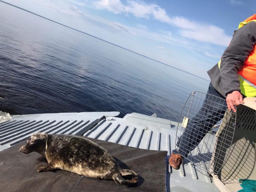 Прощание с серыми тюленями состоялось на корабле Балтийского флота. Фото https://vk.com/sealrescue, vk.com