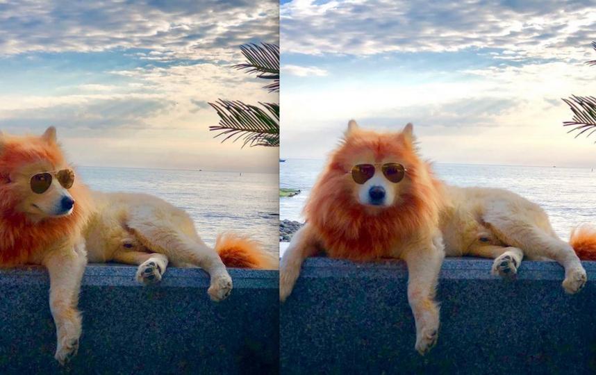 Выкрашенный под льва пес возмутил общественность. Фото Скриншот Instagram @lion_umka