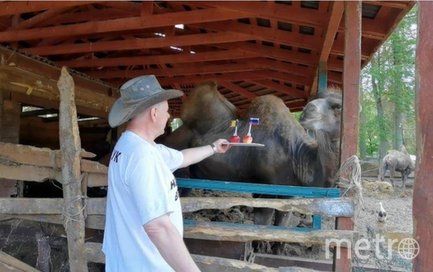 Верблюд Бех. Фото Центр реабилитации диких животных Ленобласти «Приют Белоснежки».