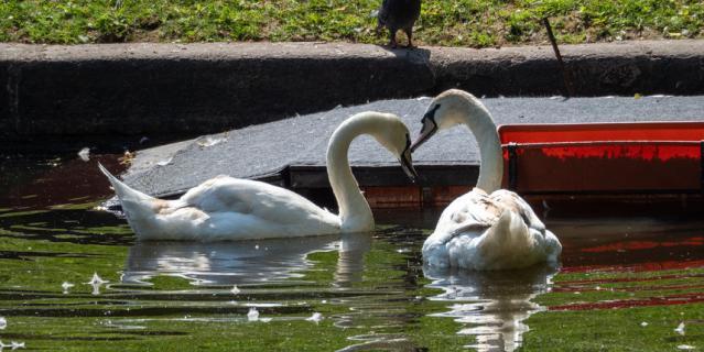 О серьезных любовных намерениях лебединой пары можно будет судить только через 3 года. Елисей - детеныш Руслана и Людмилы, которые до этого жили в Летнем саду.