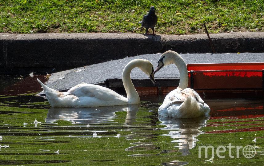 """О серьезных любовных намерениях лебединой пары можно будет судить только через 3 года. Елисей - детеныш Руслана и Людмилы, которые до этого жили в Летнем саду. Фото Святослав Акимов, """"Metro"""""""