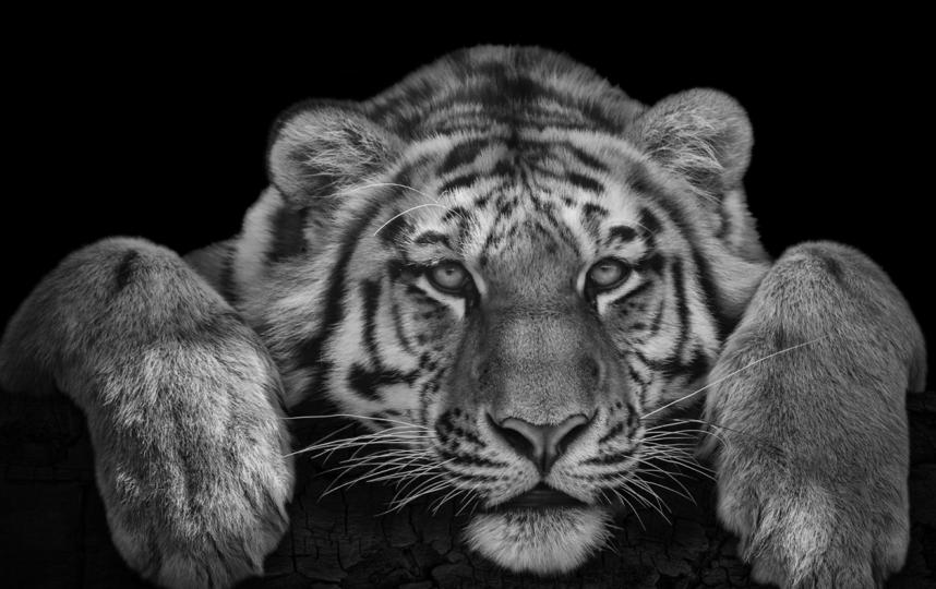 Тигр. Фото Михаил Киракосян