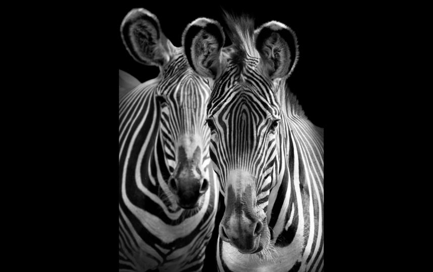 Зебры. Фото Михаил Киракосян
