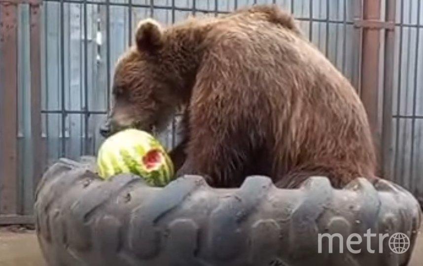 Медведи едят арбузы во время жары. Фото vk.com/veles_spb.
