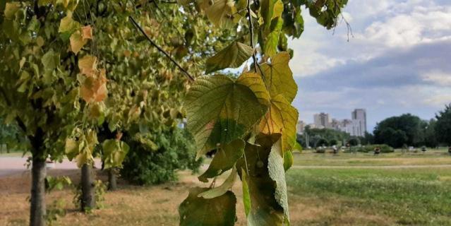 В Петербурге раньше срока начали желтеть деревья.