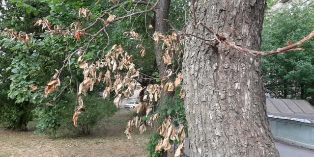 Чем слабее у дерева иммунитет, тем выше шанс размножения на нем паутинного клеща.