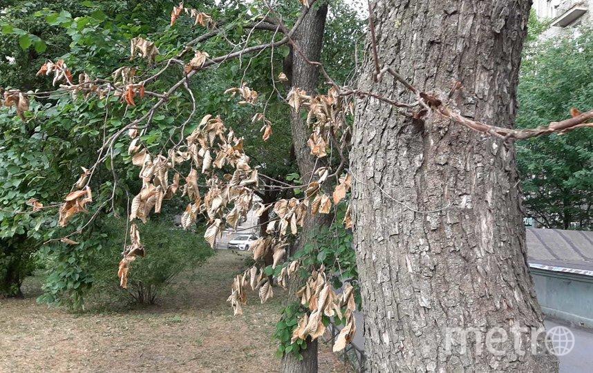 """Чем слабее у дерева иммунитет, тем выше шанс размножения на нем паутинного клеща. Фото Юлия Журавлева, """"Metro"""""""