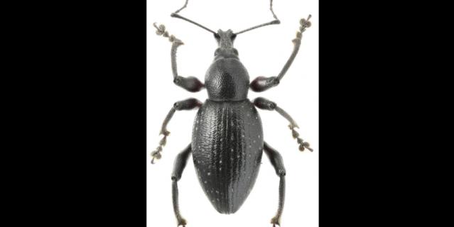 """В Англии этот вид долгоносика называют """"red-legged weevil"""", что переводится как красноногий."""