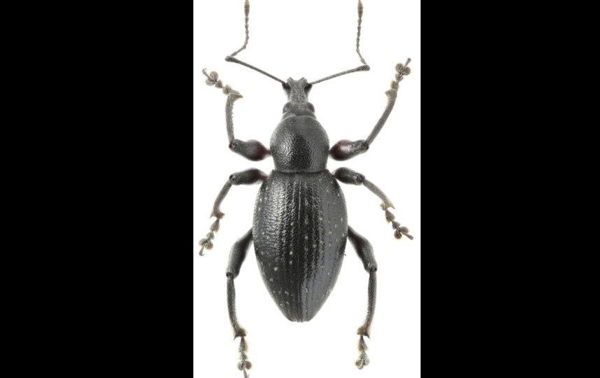 """В Англии этот вид долгоносика называют """"red-legged weevil"""", что переводится как красноногий. Фото Кирилл Макаров."""