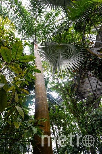 """Королевская пальма - символ Кубы. Любой турист, побывавший в этой стране имеет на руках фото на фоне пальмовой аллеи. Фото Святослав Акимов., """"Metro"""""""