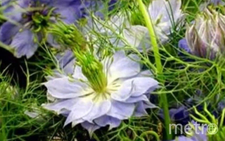 В растении содержится тимохинон. Фото TravZbor.Ru.