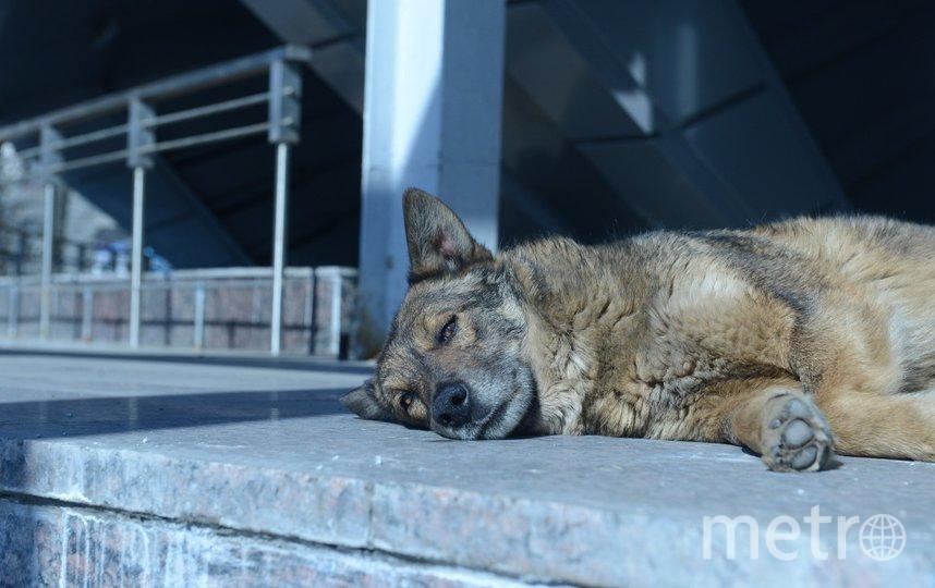 """С апреля по июнь 2021 года в Петербурге выловили 155 безнадзорных собак. Фото Святослав Акимов, """"Metro"""""""