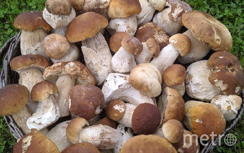 Петербуржцы нашли сотни грибов. Фото vk.com/grib_spb.