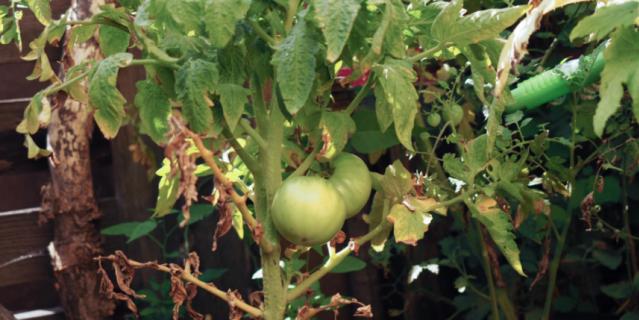 В саду Хаяо Миядзаки зреют помидоры.