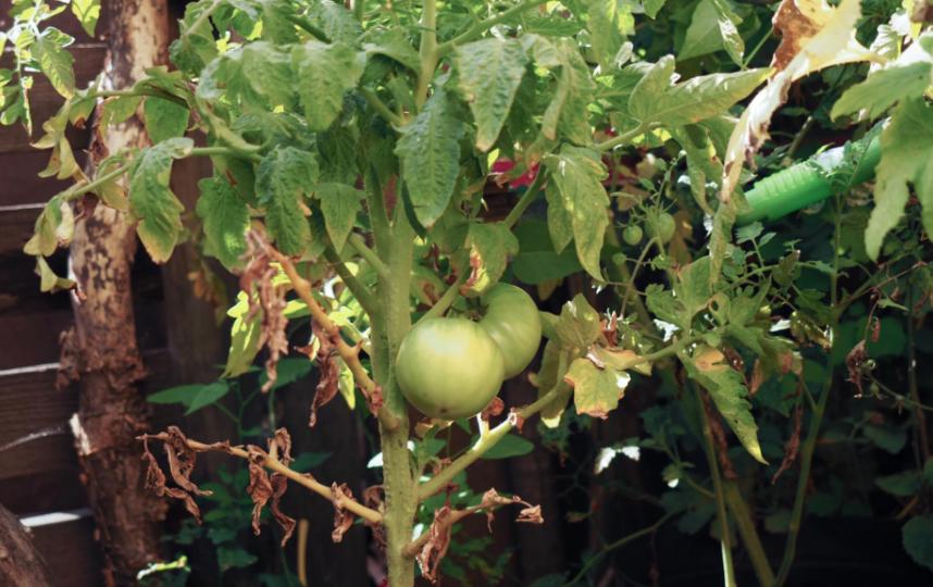 "В саду Хаяо Миядзаки зреют помидоры. Фото Святослав Акимов, ""Metro"""