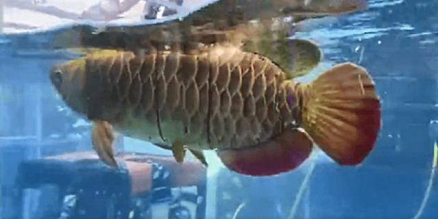 Рыба может сливаться с косяком арованов, чтобы быть незаметной.