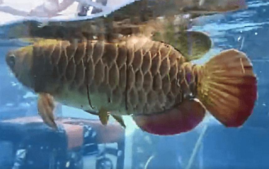Рыба может сливаться с косяком арованов, чтобы быть незаметной. Фото компания BOYA Gongdao