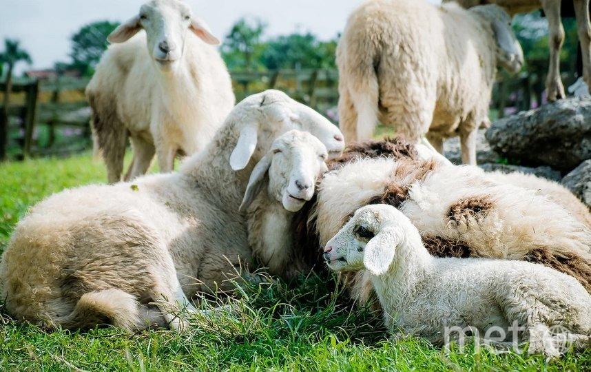 Ущерб от гибели овец составил более 4,4 млн рублей. Фото pixabay.