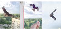 Мужчина кормит коршуна из окна многоэтажки