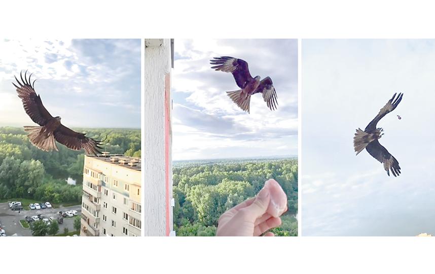 Обычно коршун Солнце прилетает перед закатом, кружит на уровне 13-го этажа или садится на девятиэтажку напротив. Таким образом птица зовёт Николая и ждёт парочку лакомых кусочков мяса. Фото tiktok: @nikolaybelozerov, inst: @nikolaybelozerov312