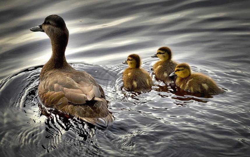 Накануне мертвых птиц обнаружили в пруду на Белградской улице. Фото Pixabay.