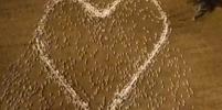 Сердце из овец в память о погибшей тете: почему австралиец выбрал именно такой способ почтить память родственницы