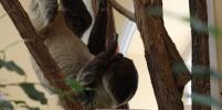 Пятница с ленивцами из Ленинградского зоопарка: сколько часов в сутки животные спят в дикой природе
