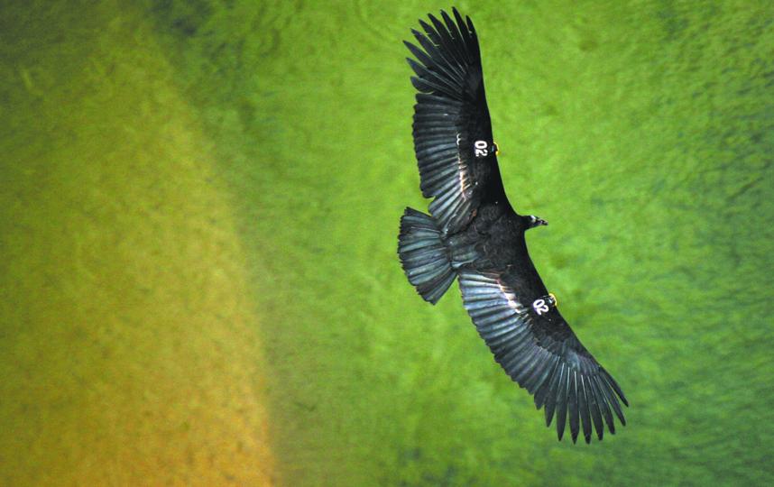Строгие меры по сохранению вида не позволили калифорнийскому кондору вымереть. Фото Getty
