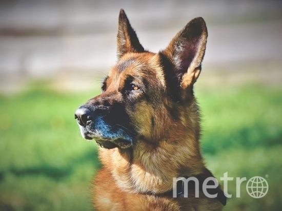 Собаки находились на службе в армии. Фото Pixabay.