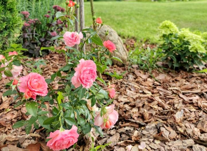 Для укрытия роз больше всего подходит нетканый материал. Укрывать эти цветы нужно постепенно. Полностью укрыть можно будет, когда начнётся стабильный минус (около пяти-семи градусов). Фото Instagram @_dom_u_lesa_