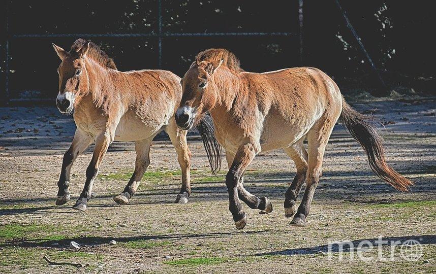 Лошадь Пржевальского. Фото Pixabay
