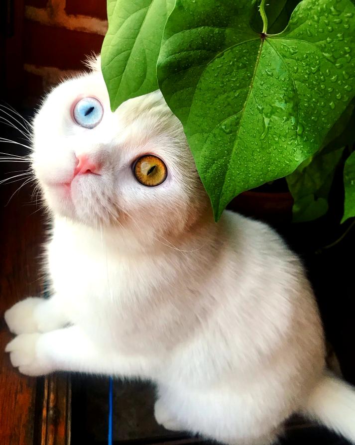 Котят у Иосифа быть не может, но у его родителей в последующих помётах был ещё один разноглазый белый котёнок. Фото предоставлены Евгением Петровым