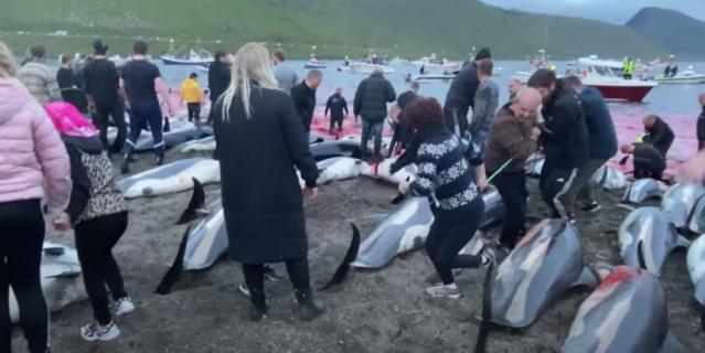 Убийство дельфинов на Фарерских островах.