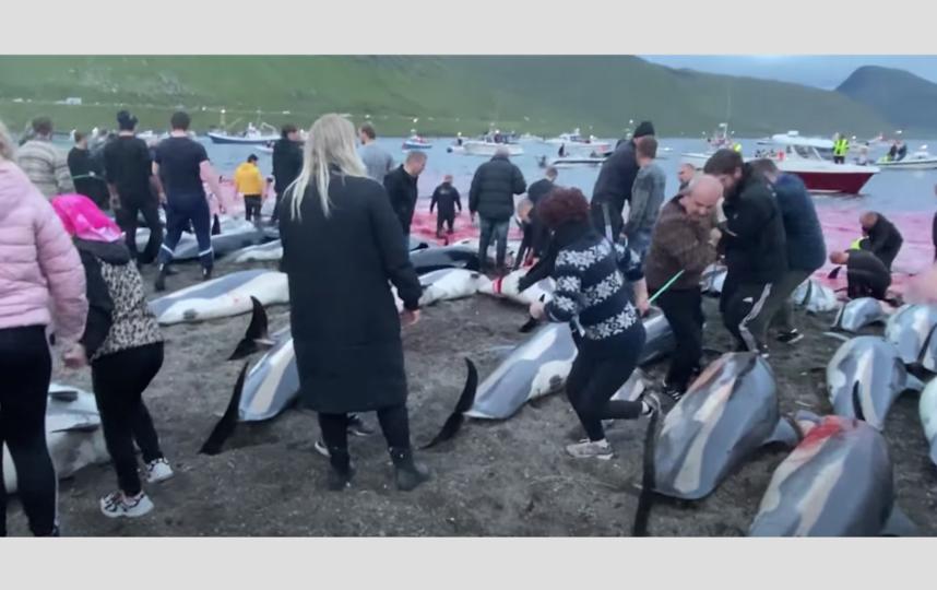 Убийство дельфинов на Фарерских островах. Фото Скриншот YouTube-канала Sea Shepherd