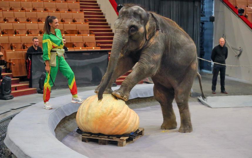 Помощница Запашного Ярославна Демешко помогает слонёнку изучить тыкву-громадину. Фото Василий Кузьмичёнок