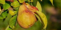 Чем груши полезны для здоровья: рассказывает диетолог